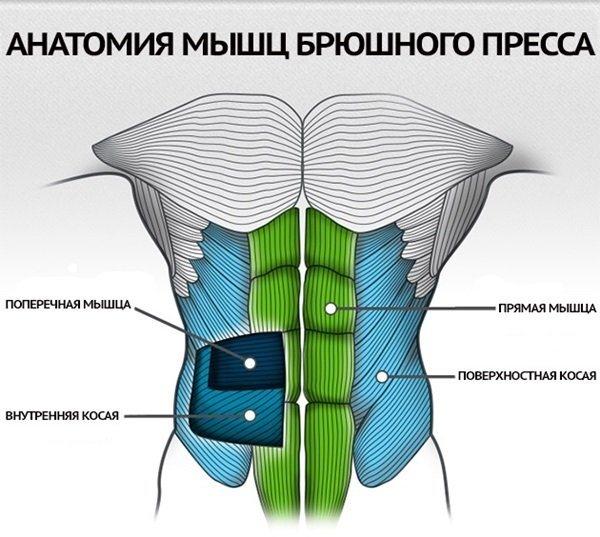 Анатомия мышц пресса: прямые и поперечные мышцы