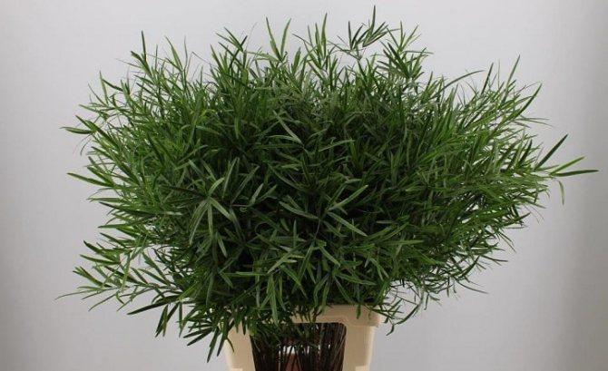 Аспарагус - одно из полезнейших растений для дома и здоровья