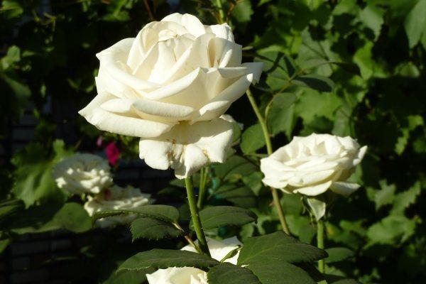 Белые розы - символ незапятнанной чистоты и девственной неприкосновенности