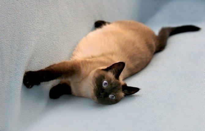 Беременность и роды кошек - признаки, длительность, помощь