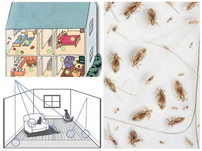 Блохи в квартире: откуда и как избавиться