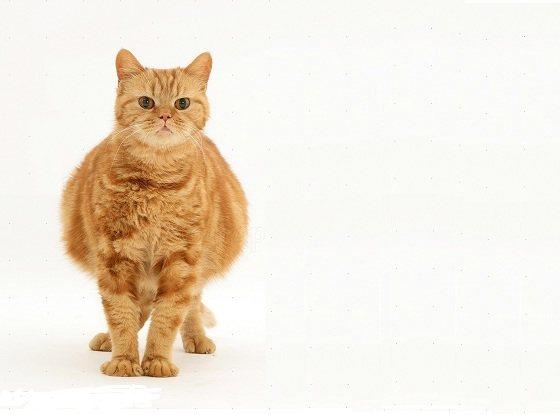 Большой живот беременной кошки
