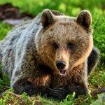 Бурый-медведь-животное-Описание-особенности-образ-жизни-и-среда-обитания-бурого-медведя-2