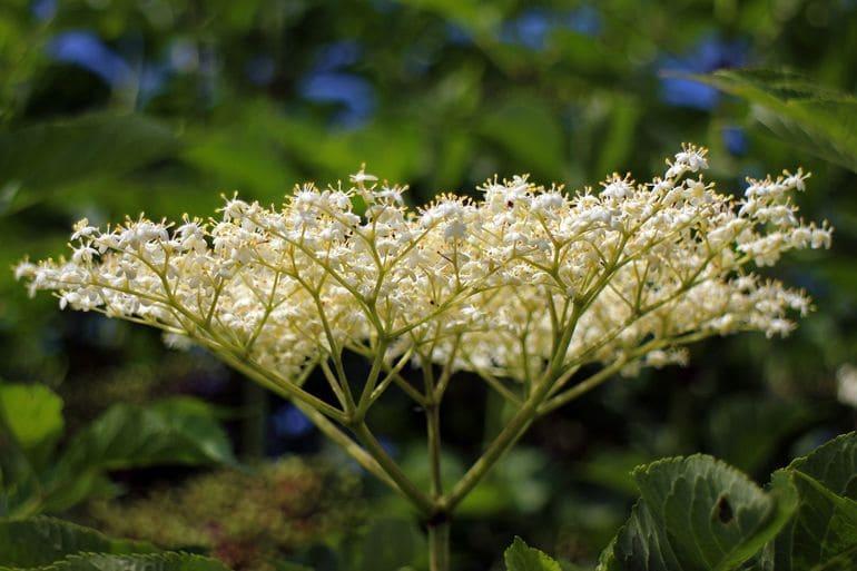 Бузина травянистая цветет