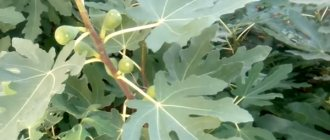 Чай из листьев инжира: польза и вред. Применение в медицине