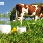 Чем полезно коровье молоко, что оно дает и как его правильно пить