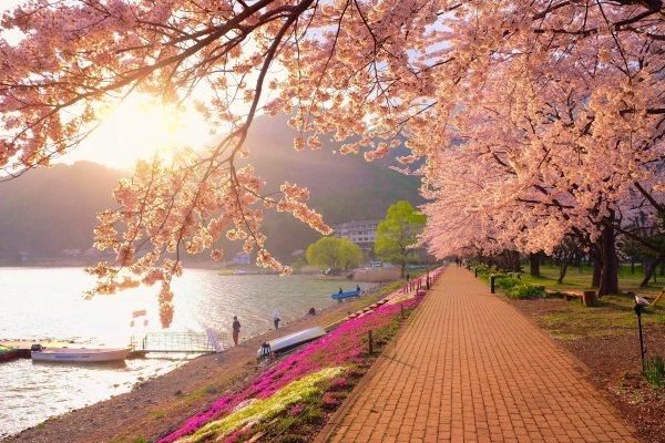 Цветение символа Японии сакуры. Фото, даты, праздник цветения, туры