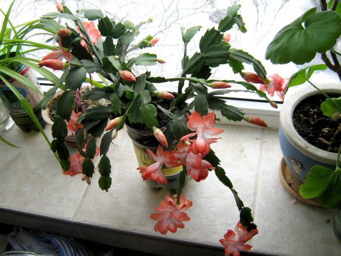 декабрист родина растения