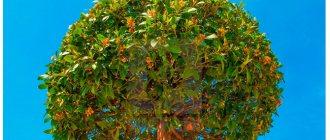 Дерево Бай