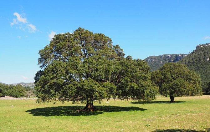 дерево камфоры