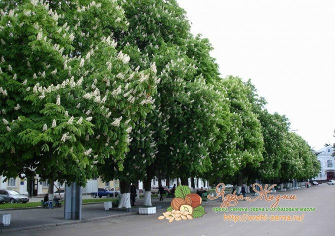 Дерево Каштан во время цветения