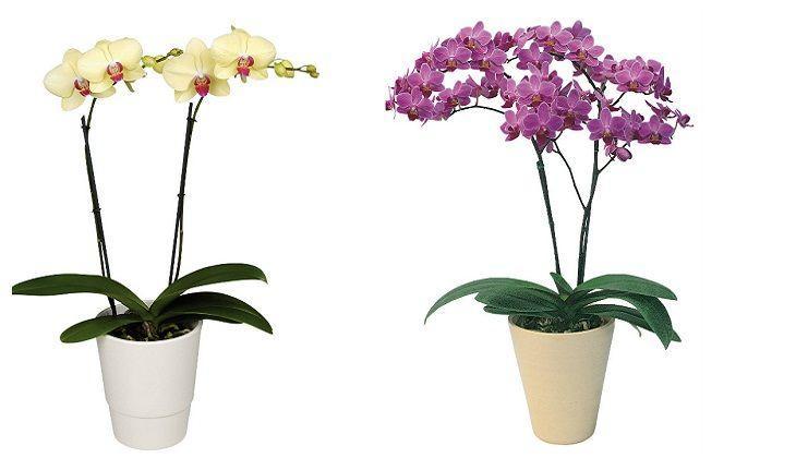 два вазона с цветущими фаленопсисами