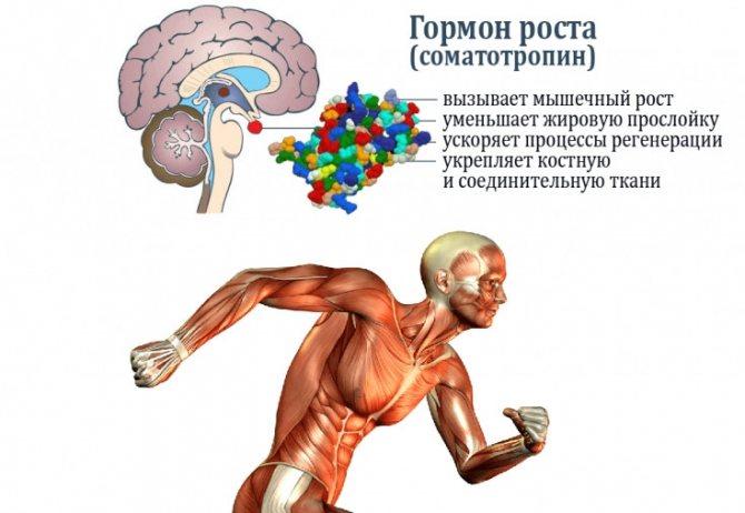 Эффекты соматотропина