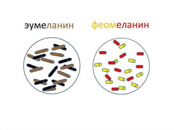 эумеланин и феомеланин
