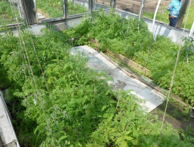 Фацелия и помидоры в одной теплице
