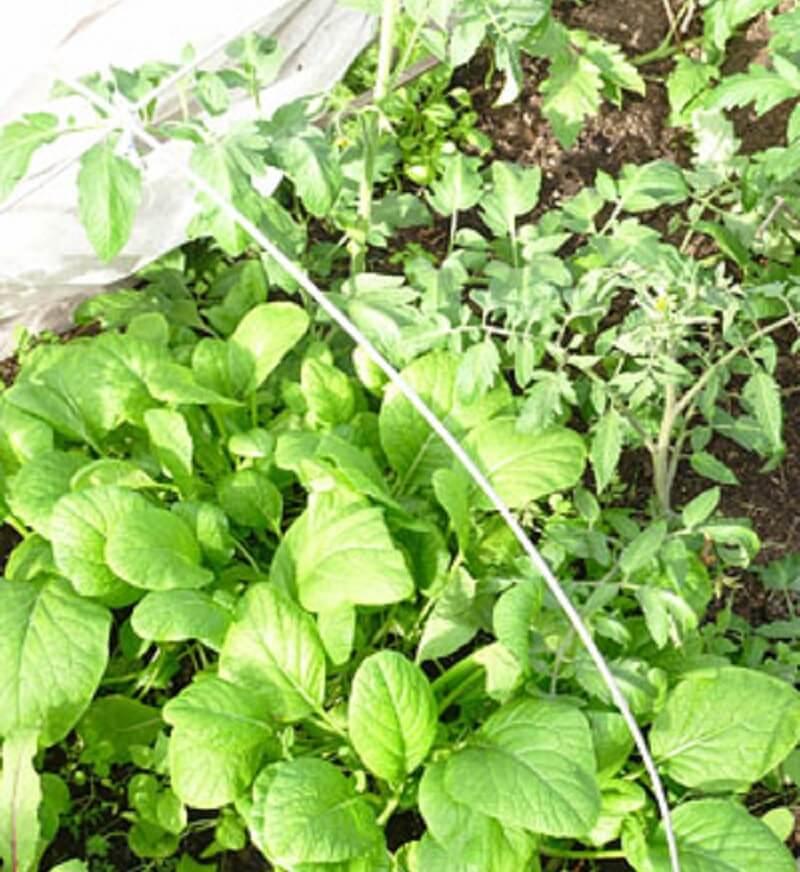 Фасоль и помидоры в теплице