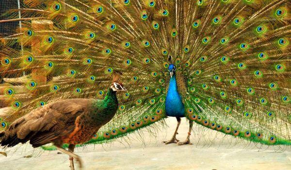 Фото: Самка и самец павлина