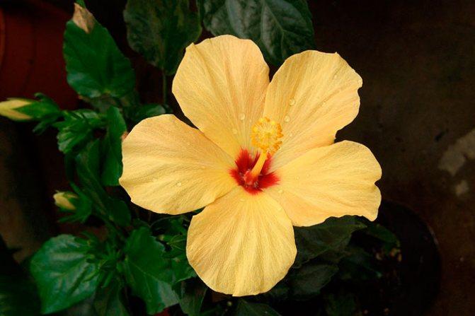 гибискус китайская роза, жёлтые цветки