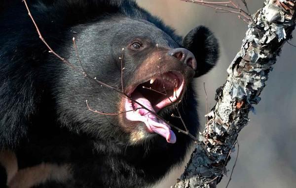 Гималайский-медведь-Описание-особенности-образ-жизни-и-среда-обитания-гималайского-медведя-2