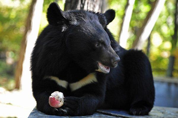 Гималайский-медведь-Описание-особенности-образ-жизни-и-среда-обитания-гималайского-медведя-9