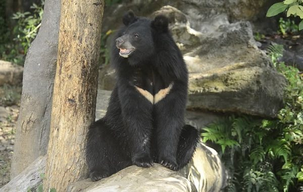 Гималайский-медведь-Описание-особенности-образ-жизни-и-среда-обитания-гималайского-медведя-16