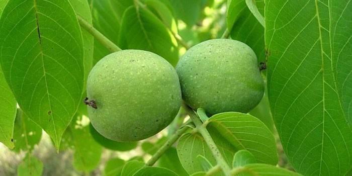 Грецкие орехи в зеленой кожуре на дереве