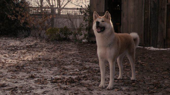 Хатико: Самый верный друг