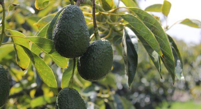 Как определить зрелость авокадо дома