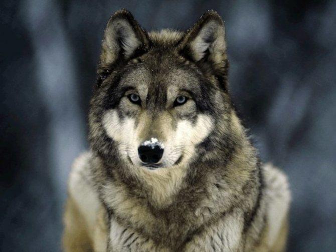 К чему приснилась стая волков