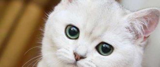 К чему снится белая кошка, сонник, толкование снов