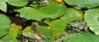 К чему снится много лягушек: мужчине, девушке, женщине, беременной – толкование разных сонников