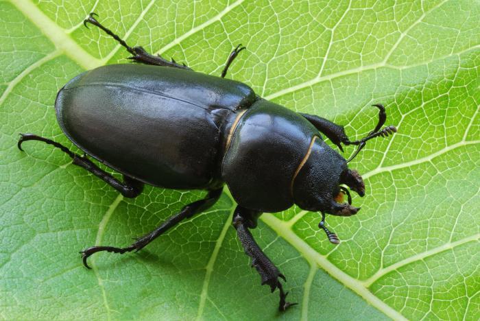 к чему снятся чёрные жуки