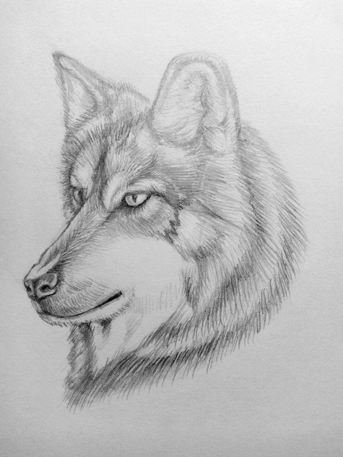 Как нарисовать волка карандашом? Поэтапный урок. Шаг 18. Портреты карандашом - Fenlin.ru