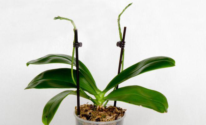 Как понять, что орхидея отцвела