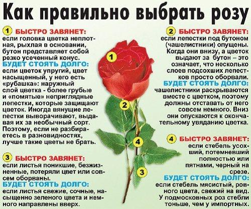 как правильно выбрать розу