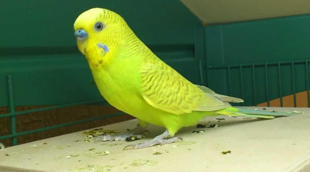 как приучить попугая к рукам в первые дни покупки