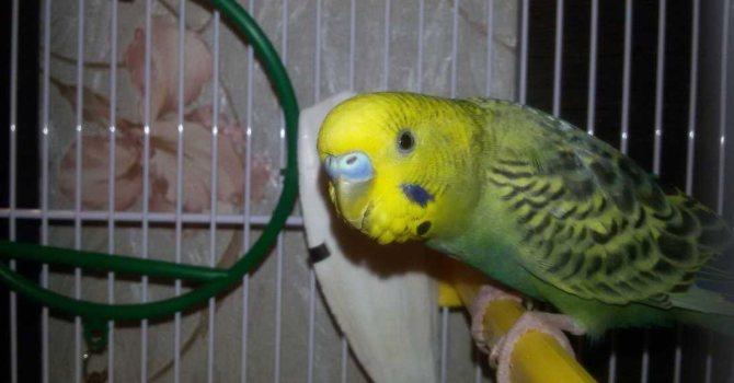 как приучить попугая к рукам в первые дни