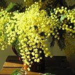 Как растет мимоза - способы выращивания цветка в домашних условиях