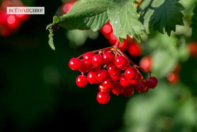 Какие витамины содержатся в калине?