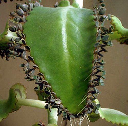 Каланхоэ Блоссфельда - фото уход пересадка размножение в домашних условиях видео