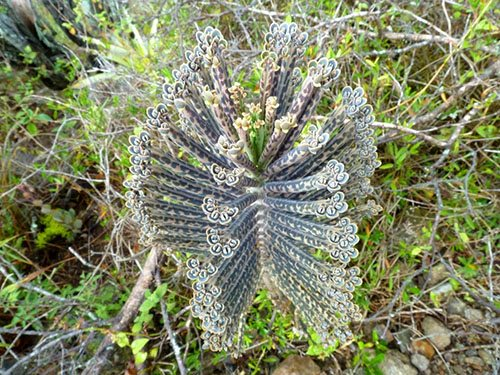 Каланхоэ трубкоцветное