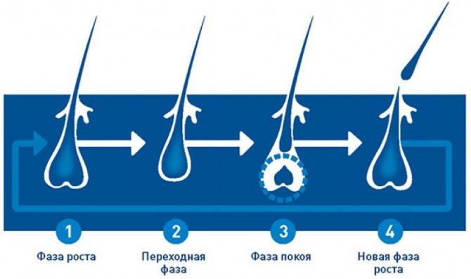 Каждый волос проходит свой жизненный цикл