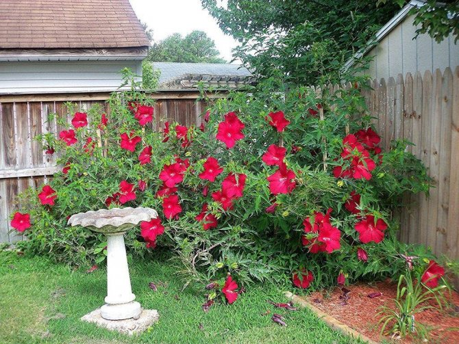 китайская роза цветок смерти почему