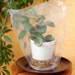 Комнатное растение под целлофановым пакетом