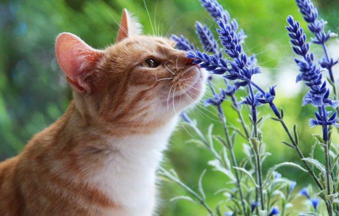 кошка и лаванда
