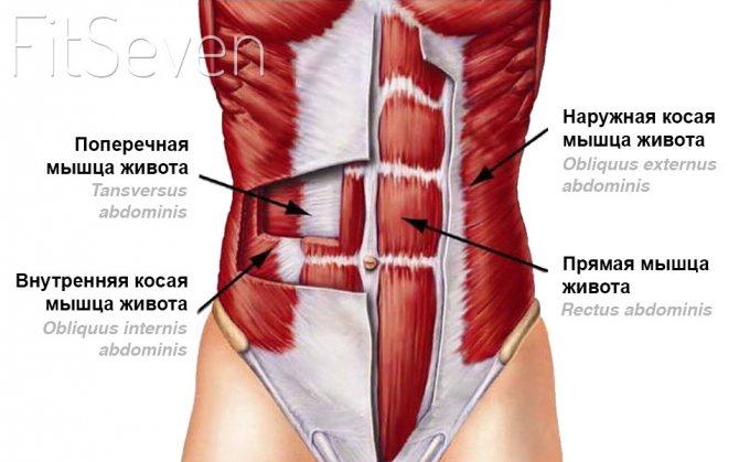 Косые мышцы живота — анатомия