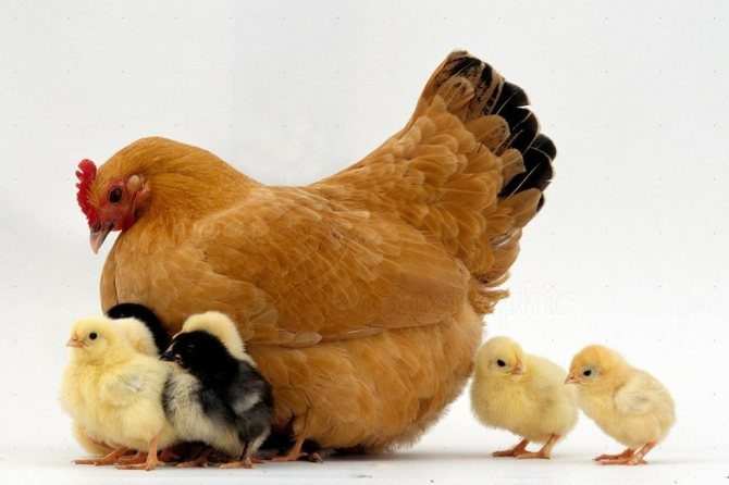 курица с цыплятами во сне