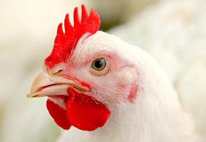 куриные желудки польза и вред