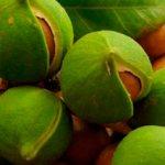 макадамские орехи