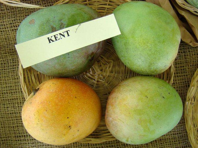 Манго сорта Kent
